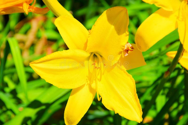 Amazing close up picture of a yellow lily flower taken on a sunny spring day. A popular flower with numerous forms, often hybrids royalty free stock photo