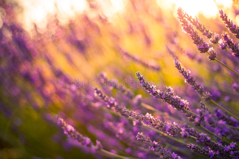 Amazing color sunset Lavender in Garden. Lavender. Lavender field at Sunset. Close up image. Soft Focus. Summer background concept stock photography