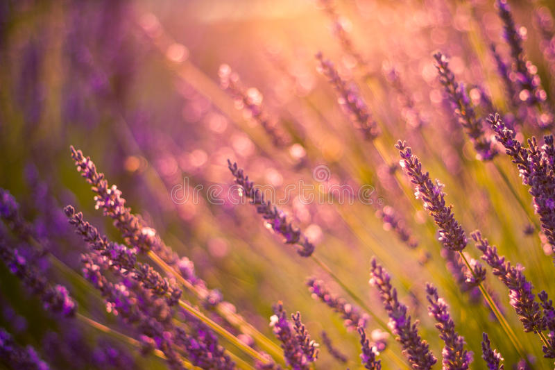 Amazing color sunset Lavender in Garden. Lavender. Lavender field at Sunset. Close up image. Soft Focus. Summer background concept stock photos
