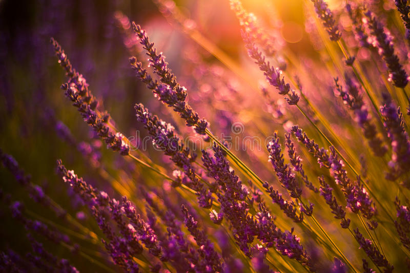 Amazing color sunset Lavender in Garden. Lavender. Lavender field at Sunset. Close up image. Soft Focus. Summer background concept royalty free stock images