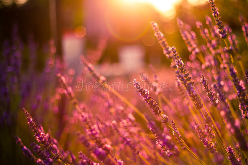 Amazing color sunset Lavender in Garden. Lavender. Lavender field at Sunset. Close up image. Soft Focus. Summer background concept royalty free stock photography