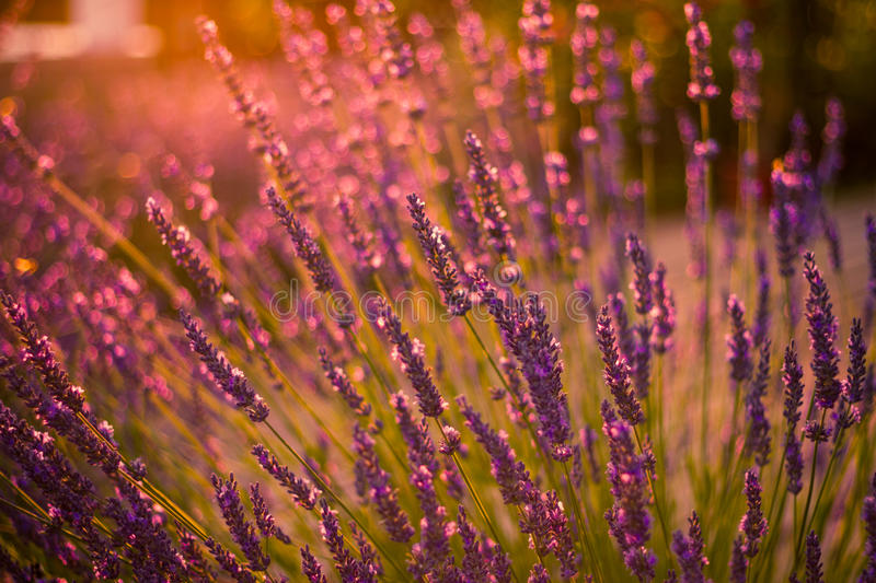 Amazing color sunset Lavender in Garden. Lavender. Lavender field at Sunset. Close up image. Soft Focus. Summer background concept royalty free stock image