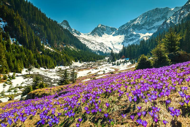 Spring landscape with purple crocus flowers, Fagaras mountains, Carpathians, Romania royalty free stock photography