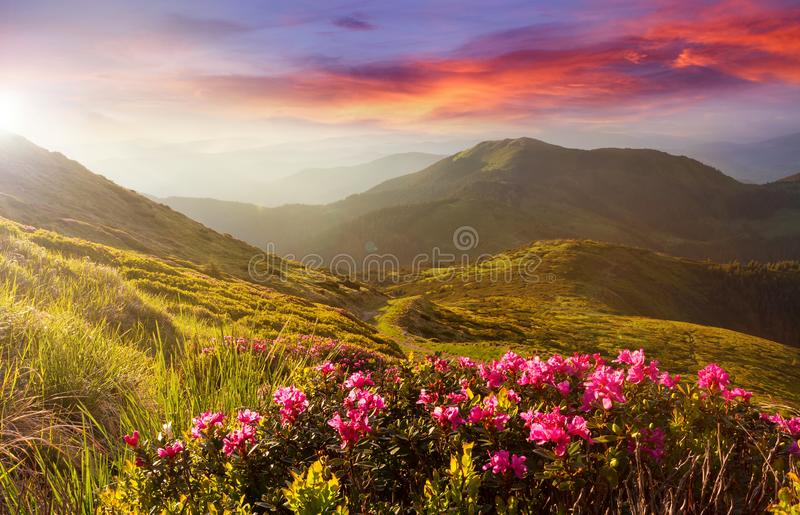 Amazing colorful sundown in mountains with majestic sunlight and pink rhododendron flowers on foreground. Dramatic colorful scene royalty free stock photos