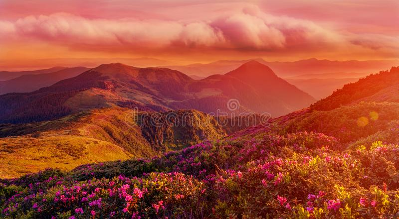 Amazing colorful sunrise in mountains with colored clouds and pink rhododendron flowers on foreground. Dramatic colorful scene wit royalty free stock images