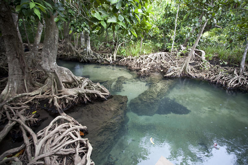 Amazing crystal clear emerald canal with mangrove forest stock image