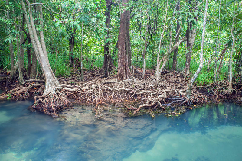 Amazing crystal clear emerald canal with mangrove forest Thapom stock photo