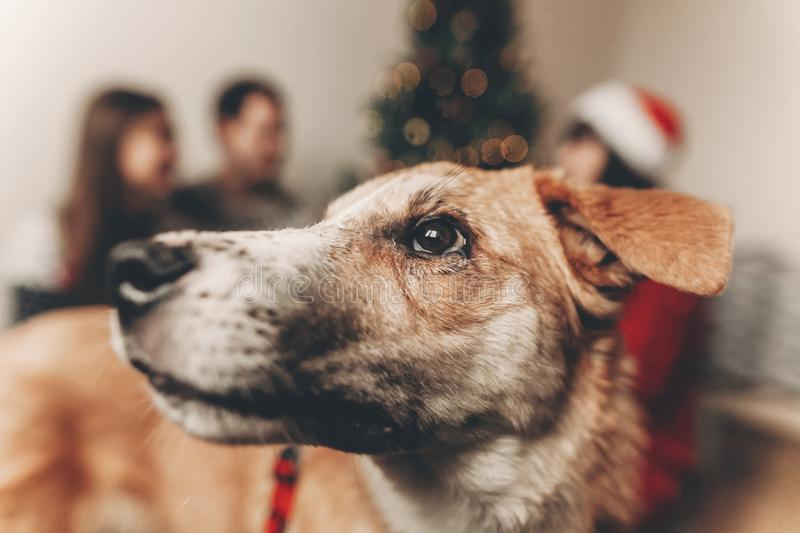 Amazing cute dog eyes look close up on background with happy family in sweaters at christmas tree with lights. atmospheric moment. S. merry christmas and happy stock image