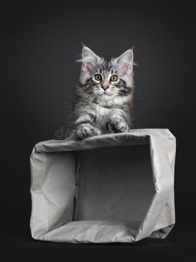 Amazing cute Maine Coon cat kitten, on black background. Amazing cute Maine Coon cat kitten, sitting behind grey empty paper bag. Paws on the bag. Looking at royalty free stock image