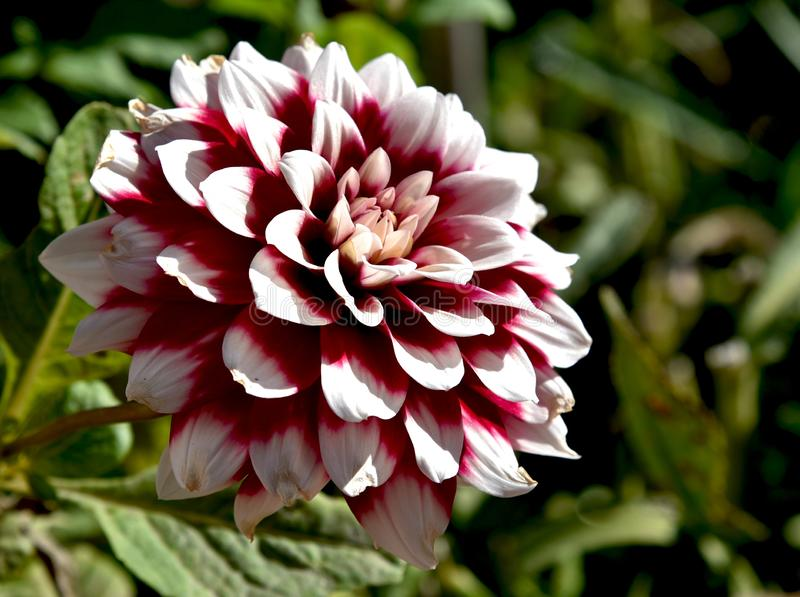 Amazing dahlia in the garden, close up royalty free stock images