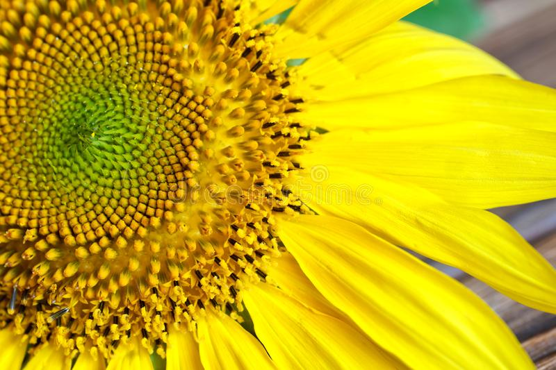 Amazing detailed inflorescence of a sunflower on a wooden surface. Macro royalty free stock photos