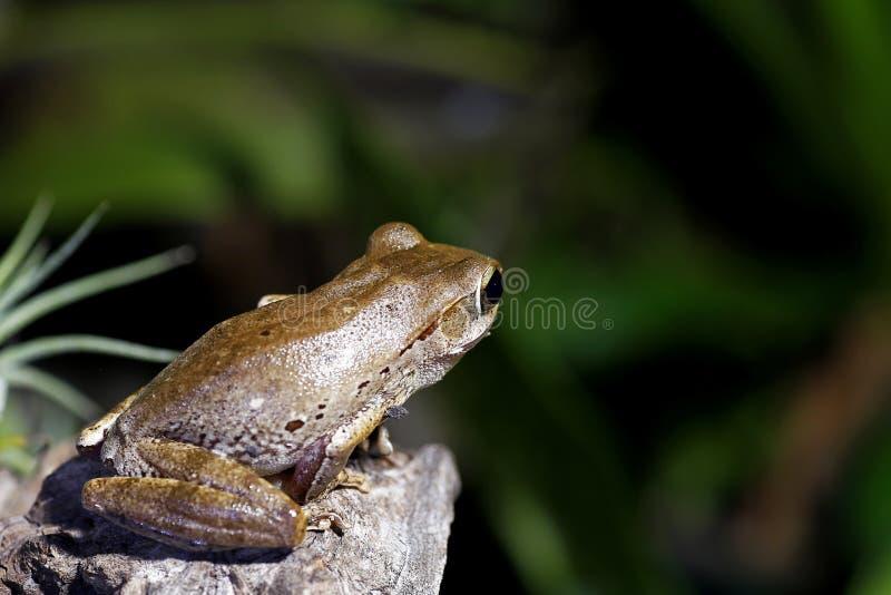 Amazing Eyes Tree Frog royalty free stock photography
