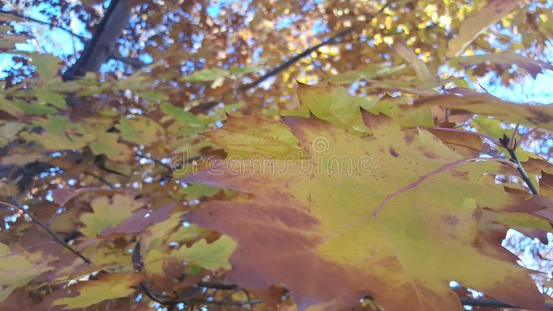 Amazing fall colored leaves royalty free stock photo