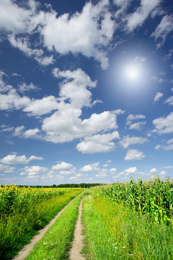 Download Amazing Field  Of Corn And Sunflowers. Stock Photo - Image: 20562028