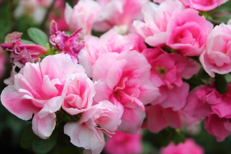Orangery pink flowers stock photography
