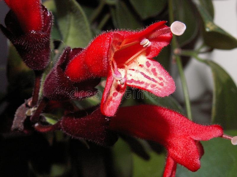 Amazing flowers - a strange, beautiful red flower grown at home. For several years royalty free stock image