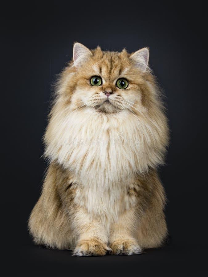 Amazing fluffy British Longhair cat kitten, Isolated on black background. stock photos