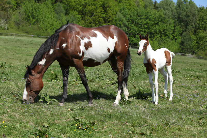 Amazing foal with mare on pasturage. Amazing paint horse foal with mare on pasturage royalty free stock image