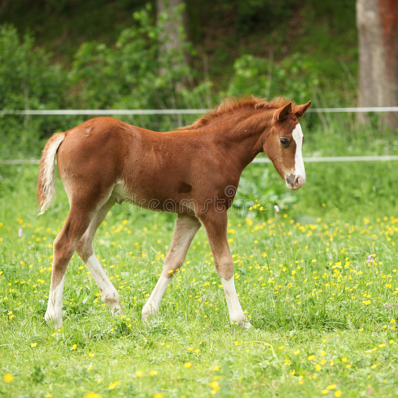 Amazing foal moving alone on pasturage. Amazing chestnut foal moving alone on pasturage royalty free stock photo