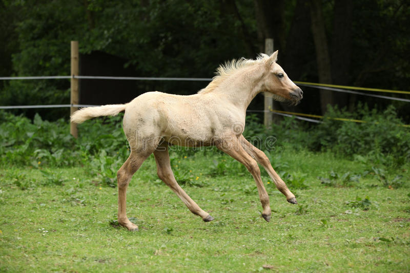 Amazing foal moving alone on pasturage. Amazing palomino foal moving alone on pasturage royalty free stock photos