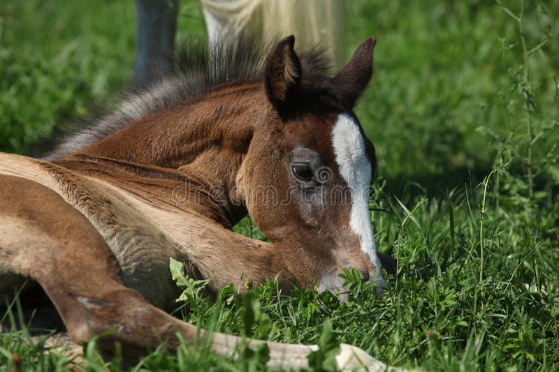 Amazing foal on pasturage. Portrait of amazing brown foal lying on pasturage stock photo