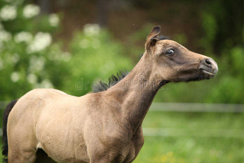 Amazing foal on pasturage. Portrait of amazing brown foal standing on pasturage royalty free stock photography