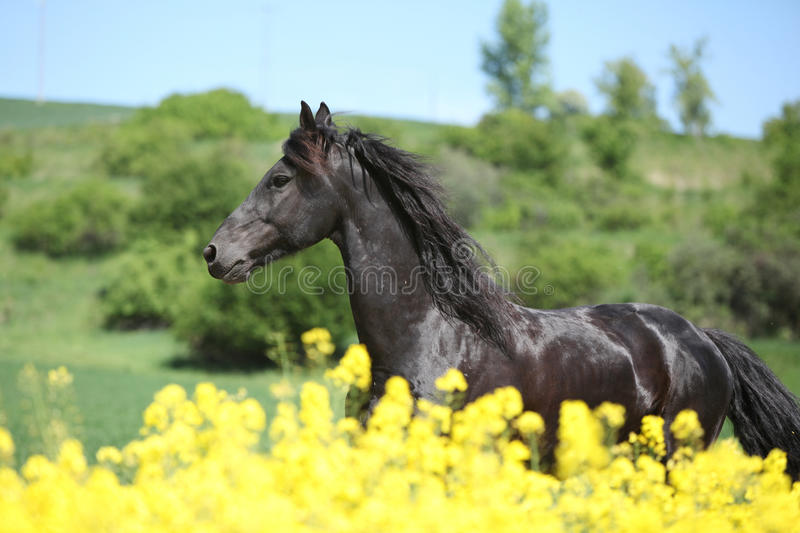 Amazing friesian horse running in colza field royalty free stock photos