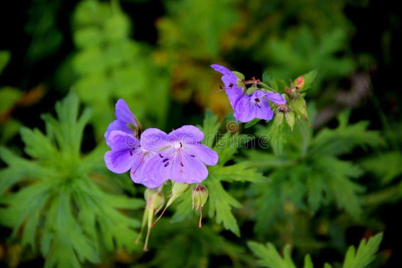 Amazing gentle blue flowers macro image stock images