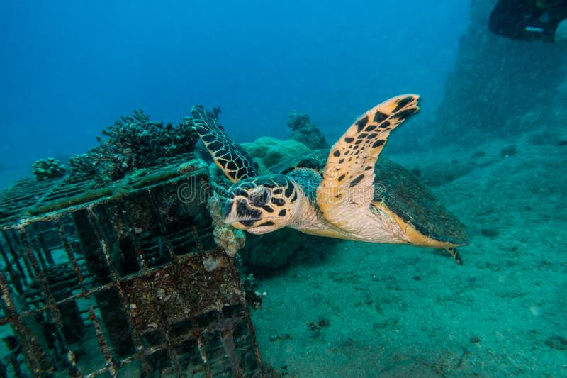 Giant Green Sea Turtles in the Red Sea a.e stock photography