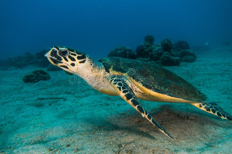 Giant Green Sea Turtles in the Red Sea a.e stock image