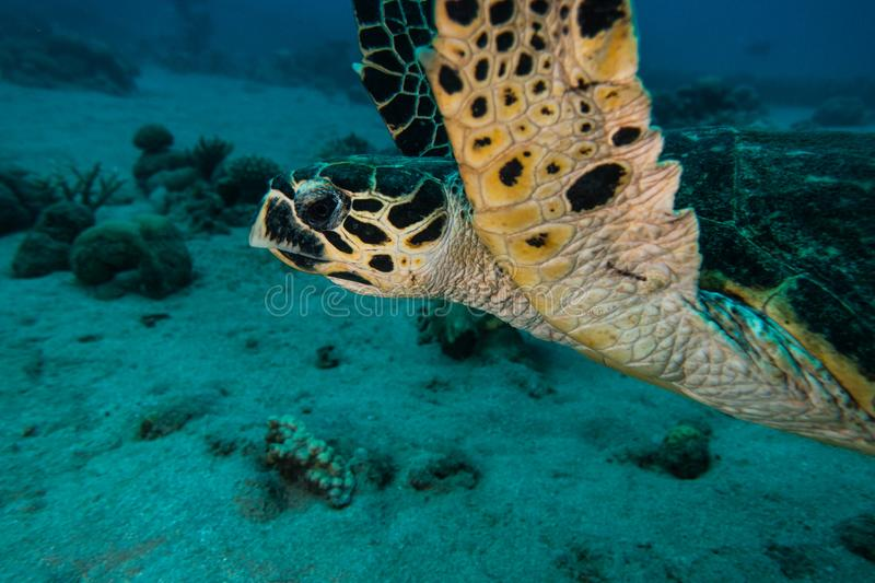 Giant Green Sea Turtles in the Red Sea a.e royalty free stock images