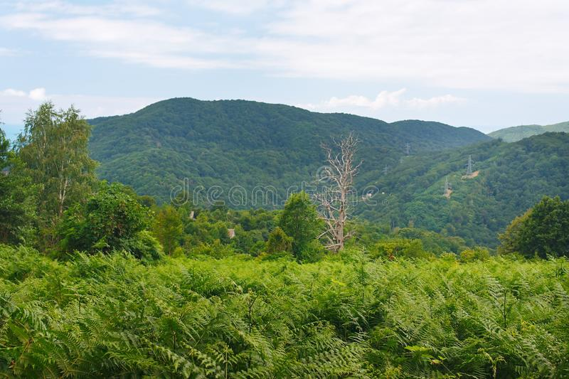 Amazing green fern glade against backdrop of wooded mountains stock photos