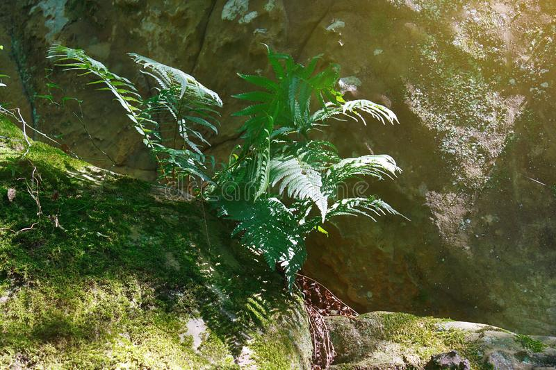 Amazing green fern in the morning sunlight on the surface of rock royalty free stock photos