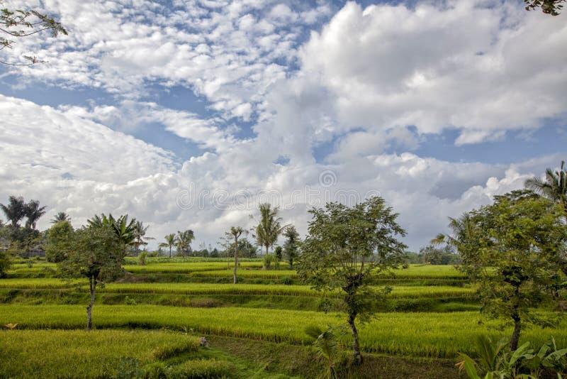 Amazing green rice field. Buleleng Regency, Bali, Indonesia. Green rice fields on Bali island, Jatiluwih near Ubud, Indonesia stock photos