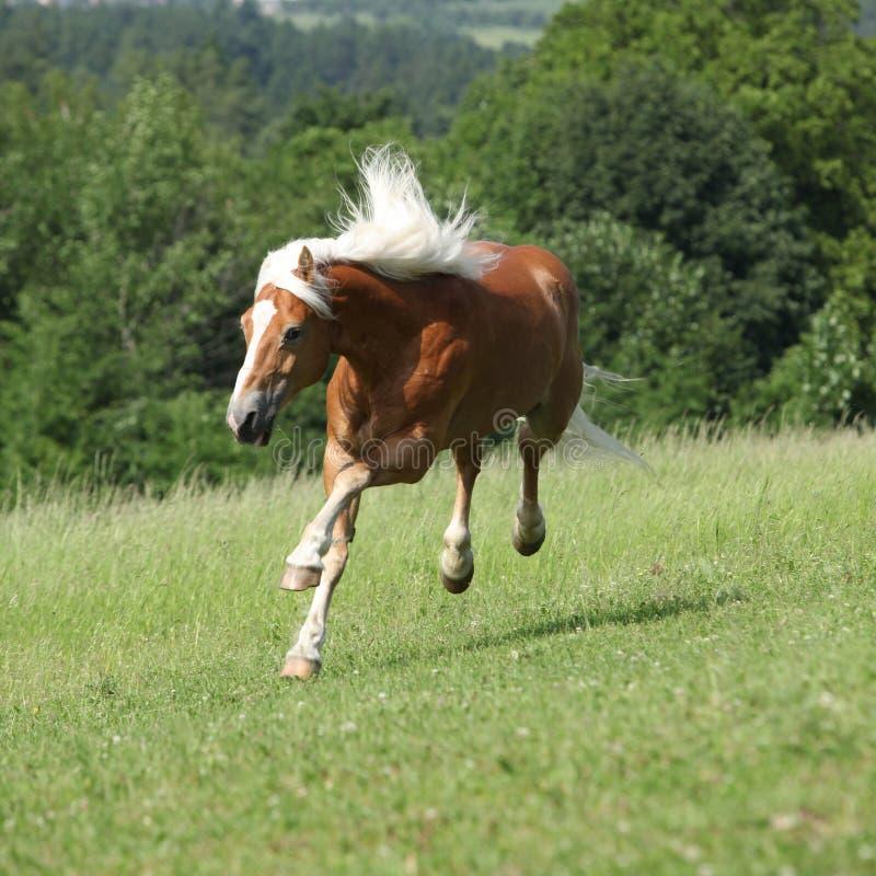 Amazing haflinger jumping on pasturage royalty free stock photo