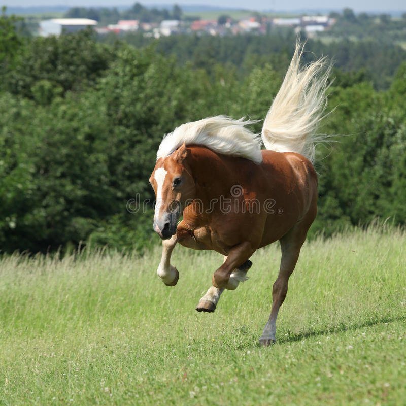 Amazing haflinger jumping on pasturage royalty free stock image