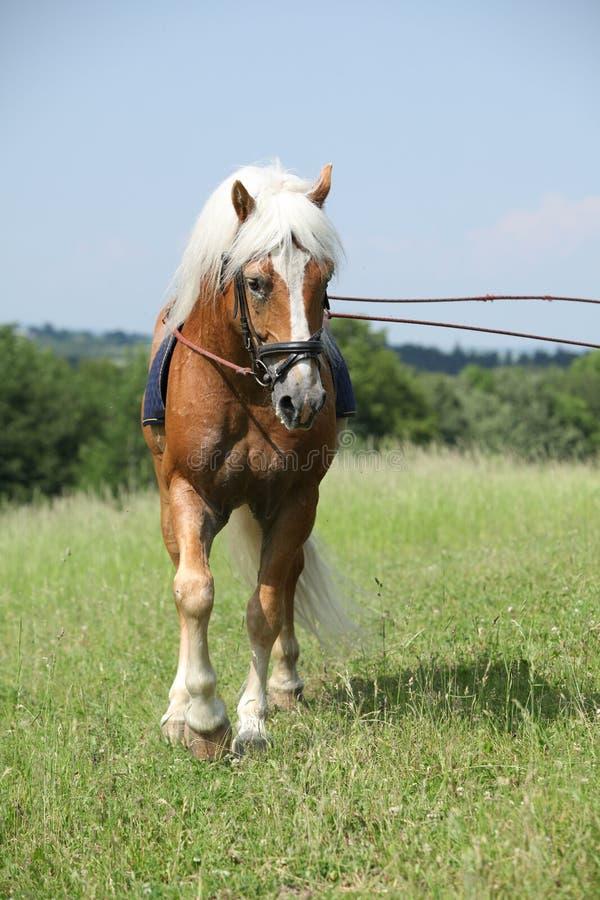 Amazing haflinger stallion in training royalty free stock images