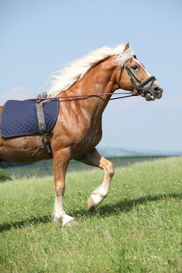 Amazing haflinger stallion in training stock image