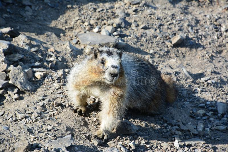 Hoary Marmot on top of Gondala in Banff. Amazing hoary Marmot on the top of the mountain in Banff national park stock photography