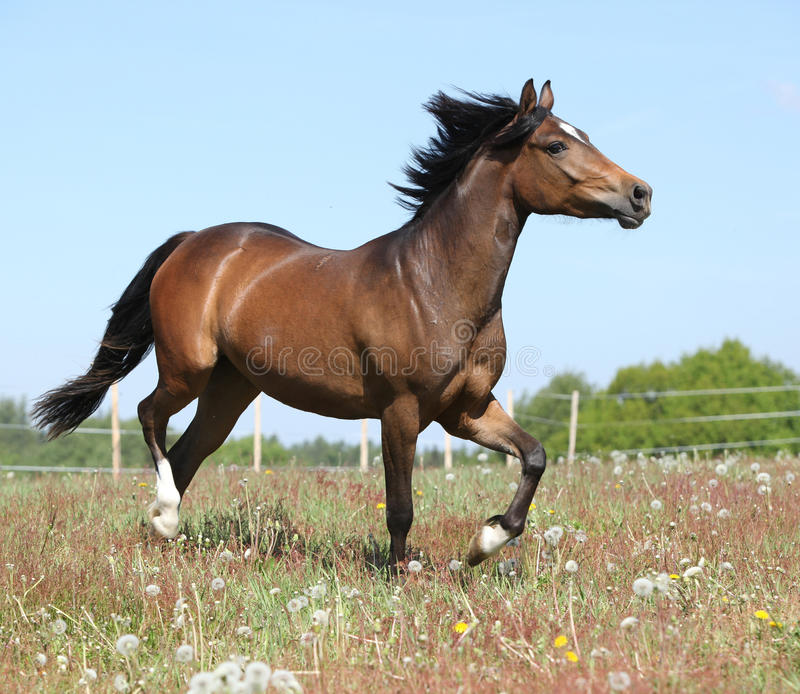 Amazing horse running on spring pasturage. Amazing horse with flying mane running on spring pasturage stock photography