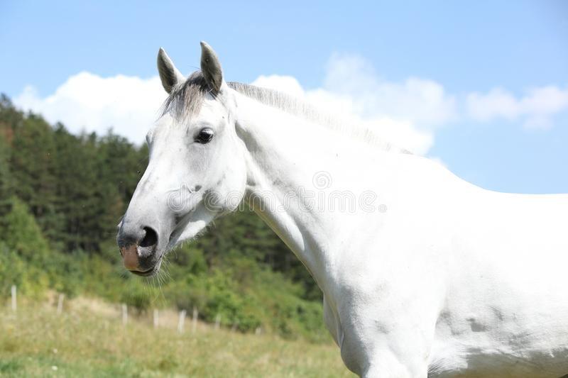 Amazing horse with short mane on pasturage. Amazing white horse with short mane on pasturage in summer royalty free stock photos