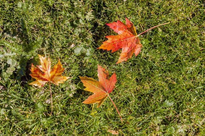 Amazing image of autumn leaves of red, yellow and brown colors on the grass royalty free stock photos