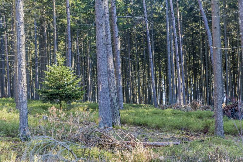 Amazing image of a small pine among of the trees stock photo