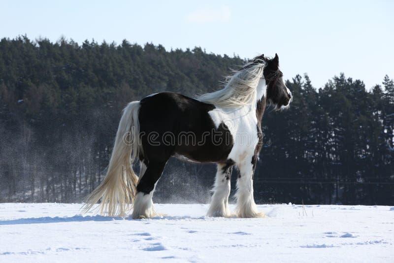 Amazing irish cob stallion. On the snow stock photos