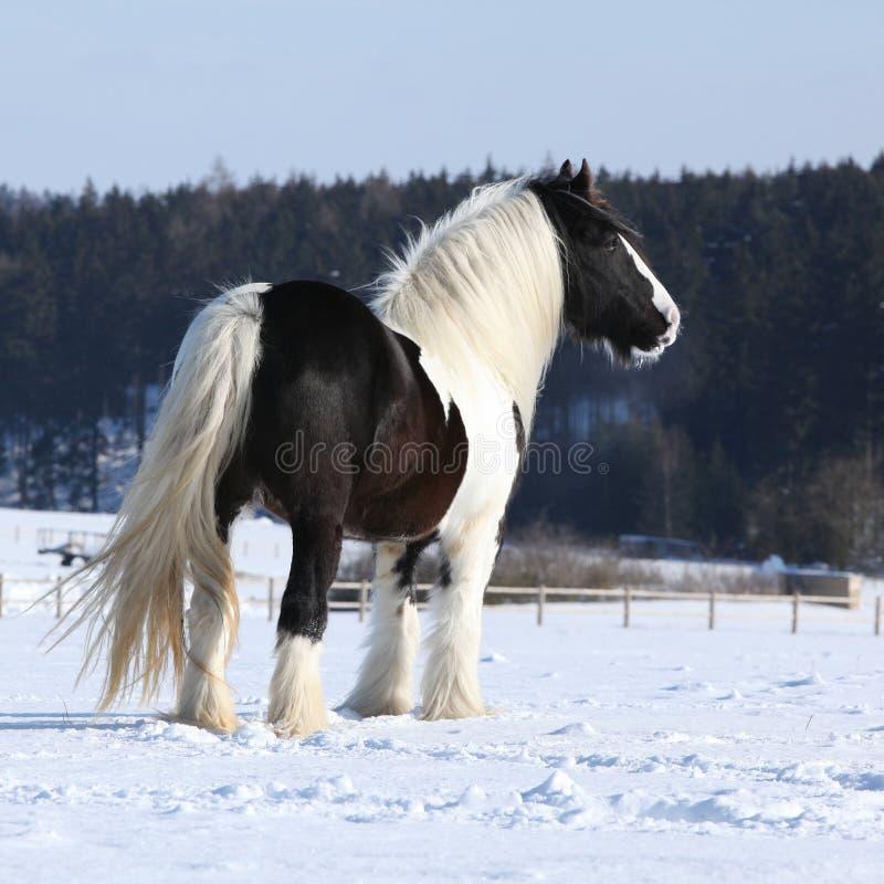Amazing irish cob stallion. On the snow royalty free stock image