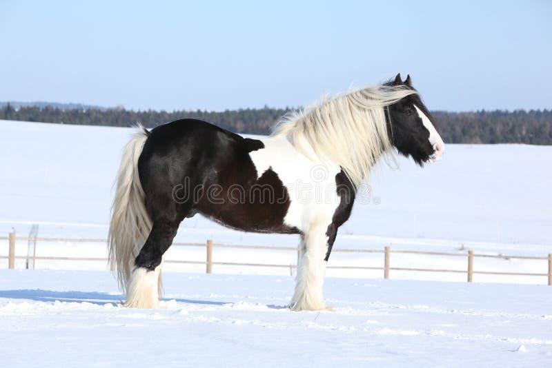 Amazing irish cob stallion. On the snow stock photography