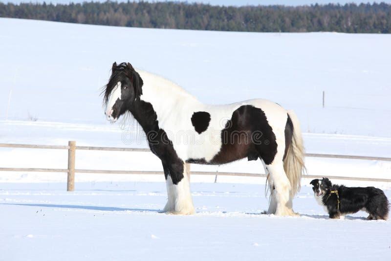 Amazing irish cob stallion. On the snow royalty free stock photos