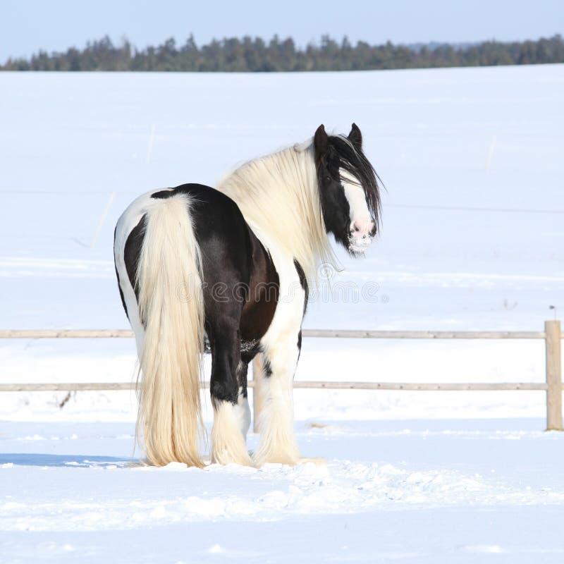 Amazing irish cob stallion. On the snow stock photo