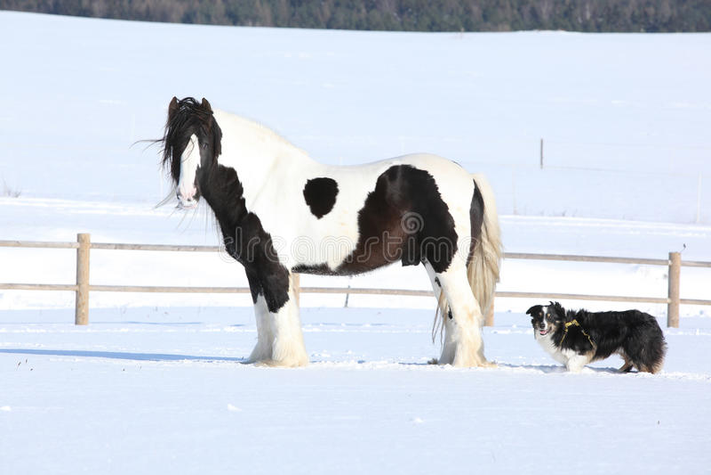 Amazing irish cob stallion. On the snow royalty free stock images