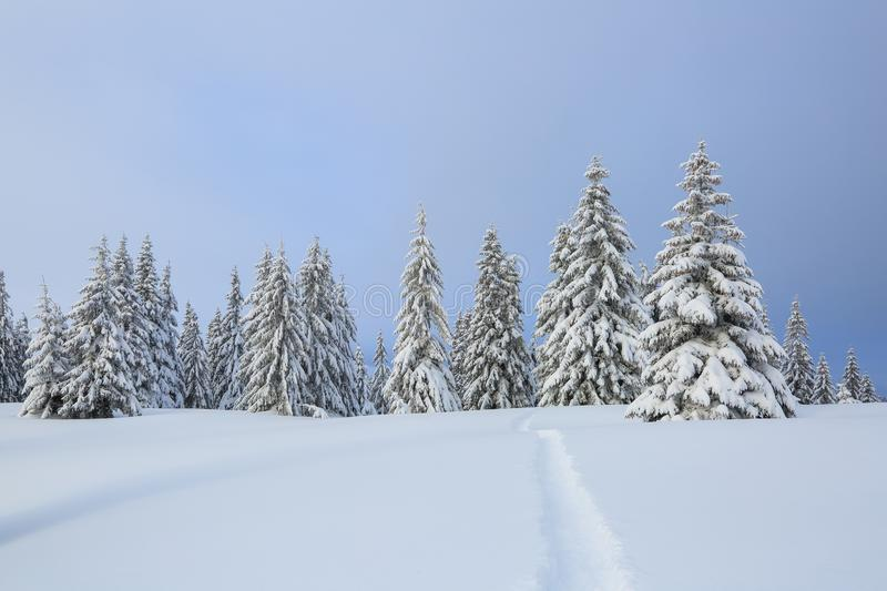 Amazing landscape on the cold winter day. Pine in the snowdrifts. On the lawn covered with snow there is a trodden path leading.  royalty free stock image